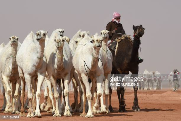 A Saudi man leads camels during a beauty contest as part of the annual King Abdulaziz Camel Festival in Rumah some 160 kilometres east of Riyadh on...