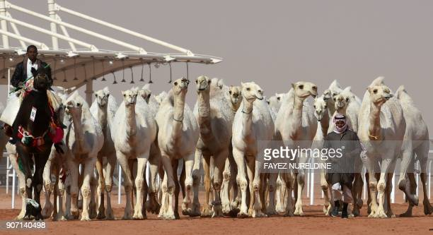 Saudi mEn lead camels during a beauty contest as part of the annual King Abdulaziz Camel Festival in Rumah some 160 kilometres east of Riyadh on...