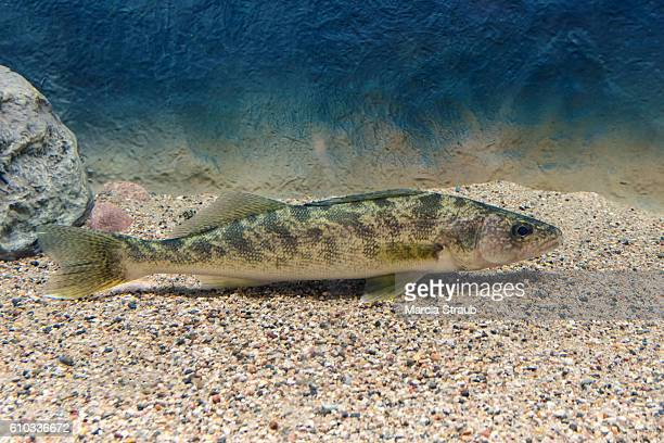 sauger perch swimming - perch fish stock pictures, royalty-free photos & images
