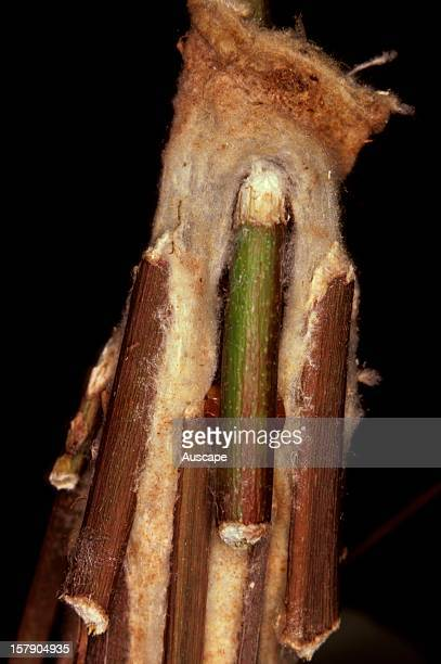 Saunders' case moth The caterpillar uses stick to seal entrance hole in its silk case weaving it in place The sticks add to the case's rigidity their...