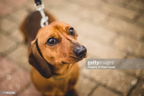 Sausage Dog Eyes