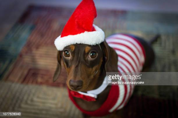 sausage dog in a santa hat - dachshund christmas stock pictures, royalty-free photos & images
