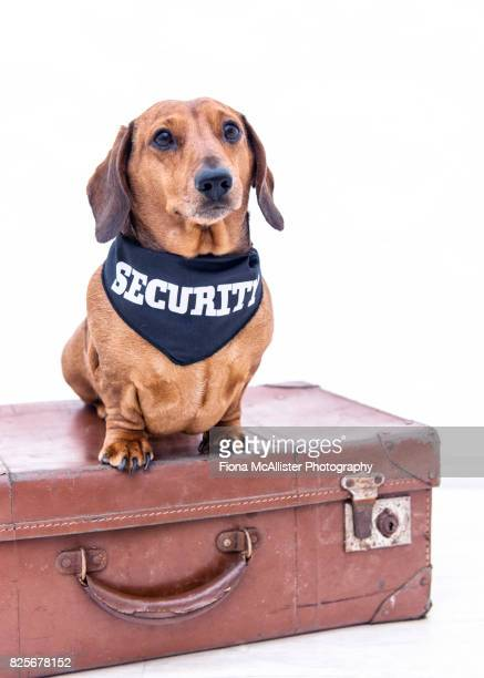 Sausage Dog Security : Guard Dog