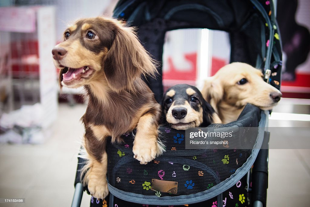 3 sausage dogs : Stock Photo