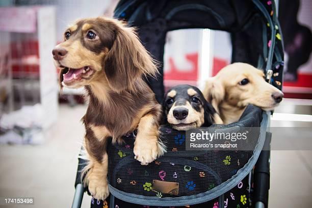 3 sausage dogs
