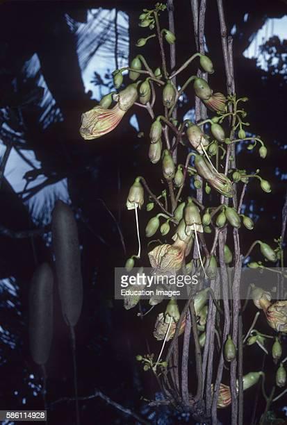 Sausage Tree flowers Rwanda Kigelia Africana