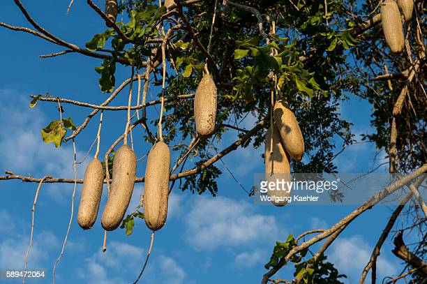Sausage tree with fruits in Liwonde National Park Malawi