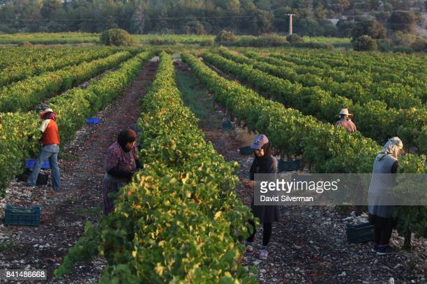 Sauvignon Blanc grapes are harvested for BarMaor Winery at daybreak on July 30 2017 in Givat Nili in northern Israel In a trend that started in...