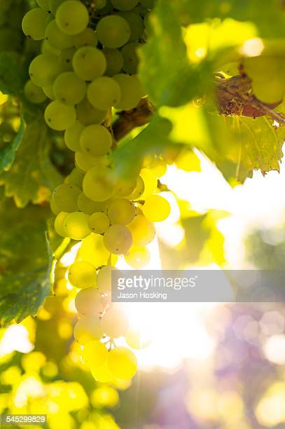 sauvignon blanc grapes - white grape stock photos and pictures
