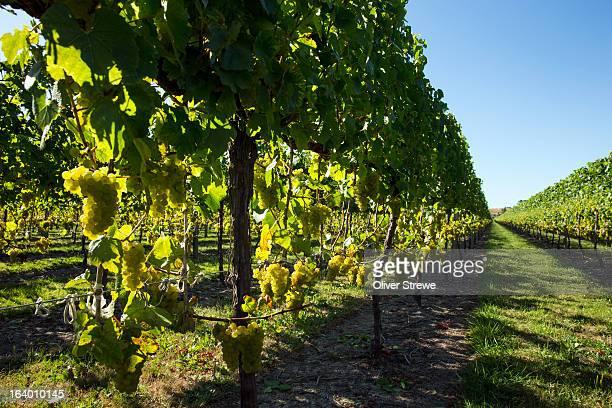 sauvignon blanc vineyard - gisborne stock photos and pictures