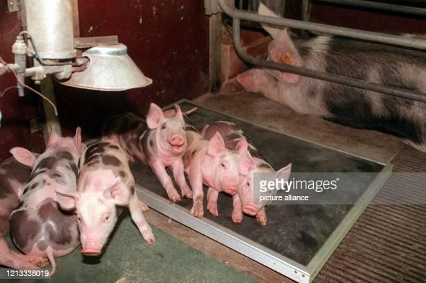 Sauwohl fühlen sich die jungen Ferkel auf ihrem Wasserbett im Institut für Tierzucht und Haustiergenetik in Gießen . Der Schweinenachwuchs braucht es...