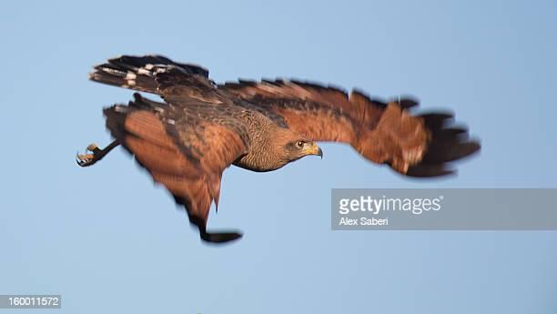 a savanna hawk, buteogallus meridionalis, in flight. - alex saberi stock-fotos und bilder