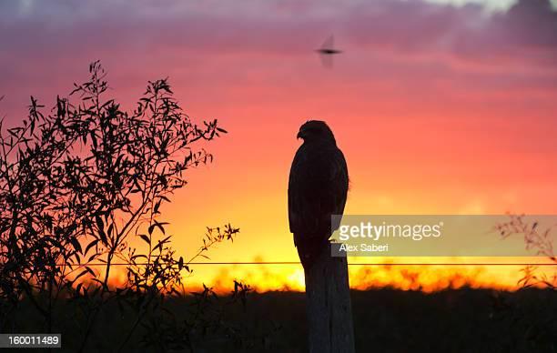 a savanna hawk, buteogallus meridionalis, perching on a fence post. - alex saberi foto e immagini stock