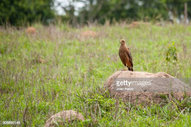 savanna hawk (buteogallus meridionalis) on a termite nest, cerrado region, brazil - hawk nest stock photos and pictures
