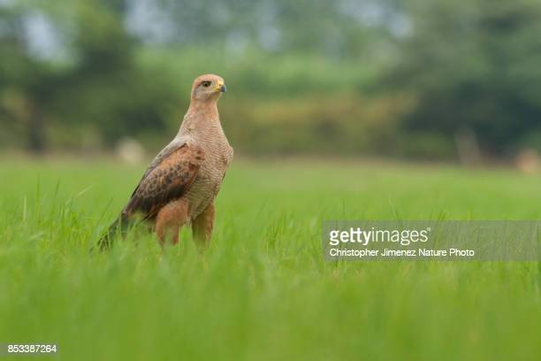 savanna hawk (buteogallus meridionalis) perched on the ground - christopher jimenez nature photo stock pictures, royalty-free photos & images