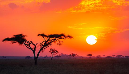 Savanna Sunrise and Acacia Tree in Tanzania Africa 621359868