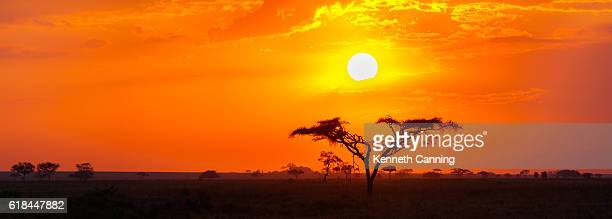 savanna sunrise and acacia tree in the serengeti, tanzania africa - áfrica - fotografias e filmes do acervo