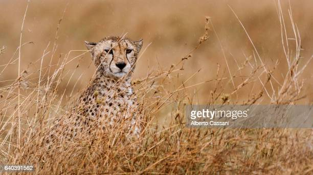 savannah. - arusha national park stock photos and pictures