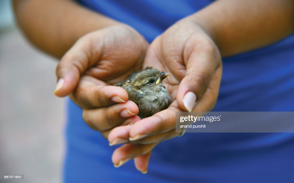 Save the House Sparrow (Passer domesticus) - Universal concern about the future of man's oldest living commensals, we must save them before it is too late. : Stock Photo