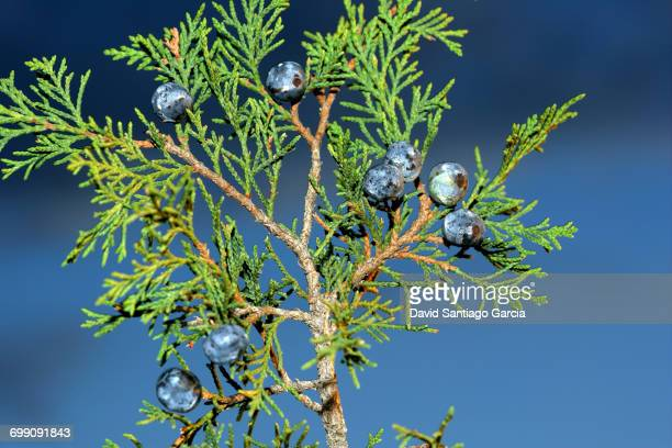 savine (Juniperus sabina), with fruits in Alto Tajo Natural Park. Guadalajara. Spain