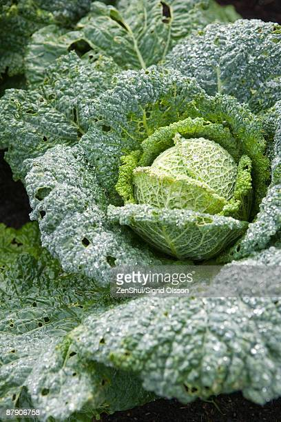 Savoy cabbage, close-up