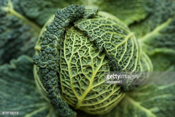 Savoy cabbage in a vegetable garden