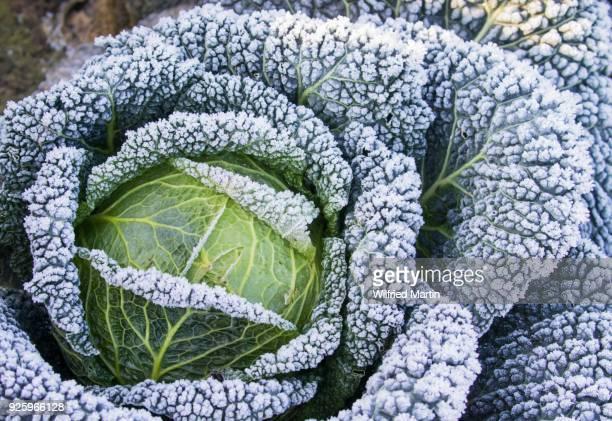savoy cabbage with hoarfrost, hesse, germany - kool kool familie stockfoto's en -beelden
