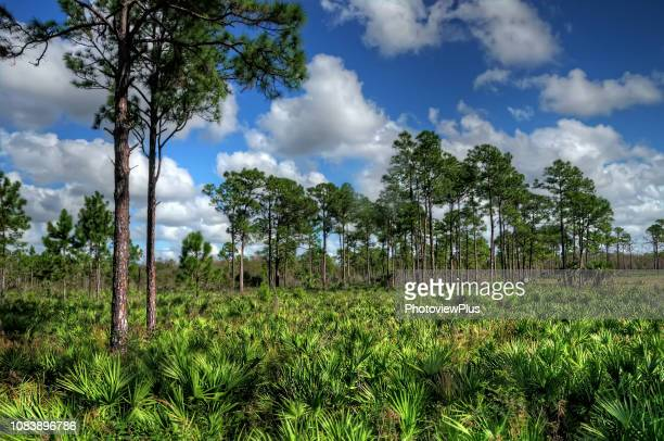 Saw Palmetto and Slash Pines against a Bright Sky with Clouds