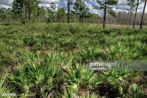 saw palmetto and slash pines - palmetto florida stock pictures, royalty-free photos & images