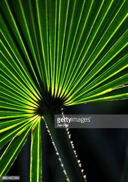 saw palmetto palm (serenoa repens) leaf on black background - palmetto florida stock pictures, royalty-free photos & images