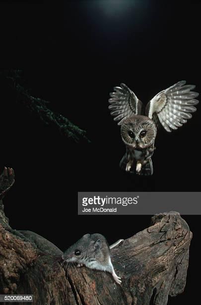 saw whet owl spotting deer mouse - hjortmus bildbanksfoton och bilder
