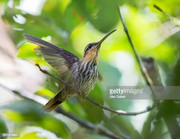 a saw-billed hermit bird, ramphodon naevius, perches on a tree branch in the atlantic rainforest. - alex saberi photos et images de collection