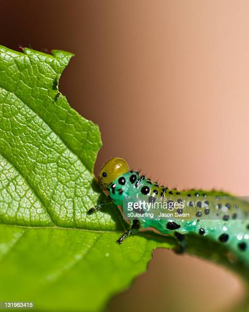sawfly larvae - s0ulsurfing stock pictures, royalty-free photos & images