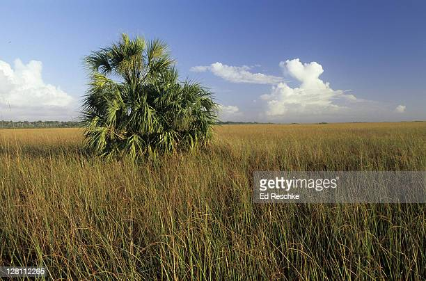 "sawgrass and paurotis palm (acoelorraphe wrightii), everglades national park, florida, usa; the everglades is sometimes described as a """"""""river of grass"""""""" - palmetto florida stock pictures, royalty-free photos & images"