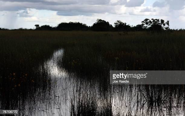 Sawgrass grows in a swampy area in the Florida Everglades September 12, 2007 in the Everglades National Park, Florida. Senator Bill Nelson recently...