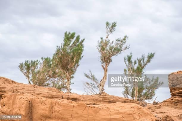 Saxaul trees grow on sandstones in the Gobi desert.