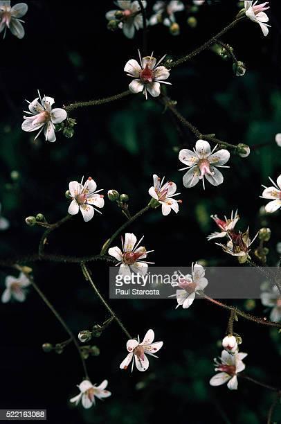 saxifraga x urbium 'aureopunctata' (london pride, none-so-pretty) - x art stock-fotos und bilder