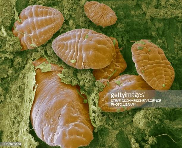 scale insects, sem - magnification stock pictures, royalty-free photos & images