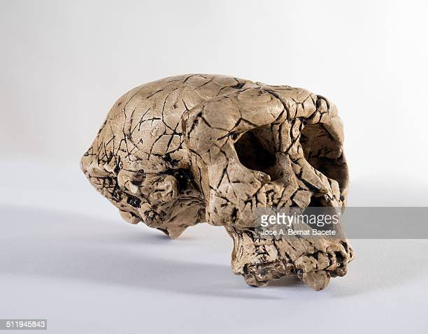 Scale reproduction of a human skull of early man