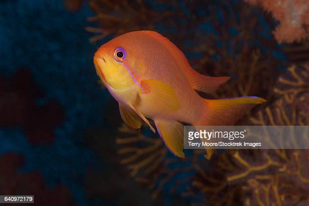 Scalefin anthias fish (Pseudanthias squamipinnis) Beqa Lagoon, Fiji.