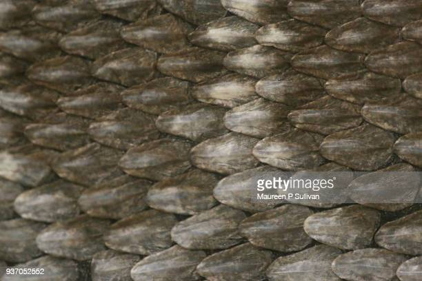 scales of a western diamond rattlesnake - animal scale stock pictures, royalty-free photos & images