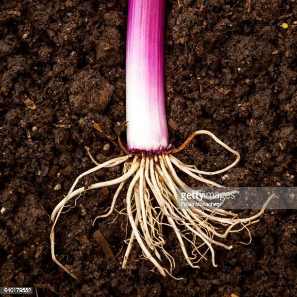 Scallion roots
