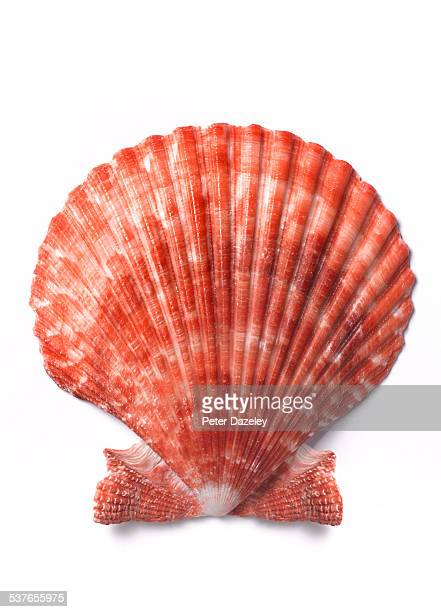 scallop shell close up on white - seashell stock pictures, royalty-free photos & images