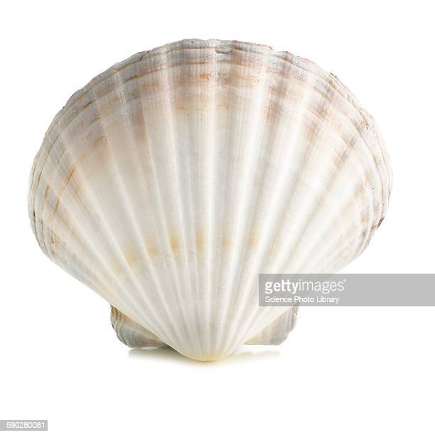 scallop shell - seashell stock pictures, royalty-free photos & images