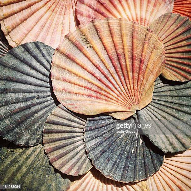 scallop shells in a pile - seashell stock pictures, royalty-free photos & images