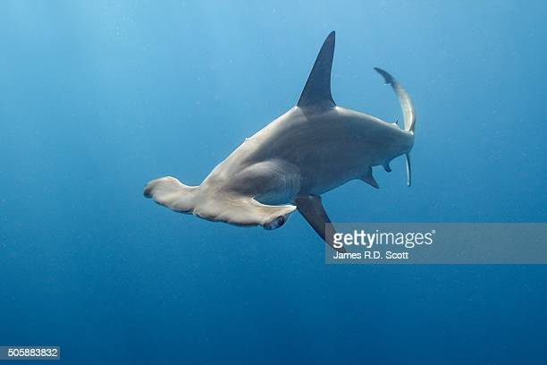 Scalloped Hammerhead Shark - Florida Keys