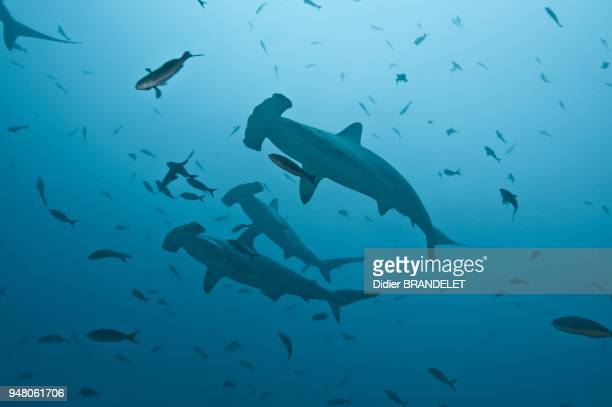 Scalloped hammerhead shark Galapagos Islands Pacific Ocean