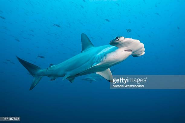 Scalloped Hammerhead Shark, Galapagos Islands.