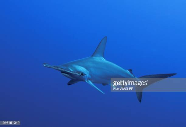 Scalloped hammerhead shark Indonesia