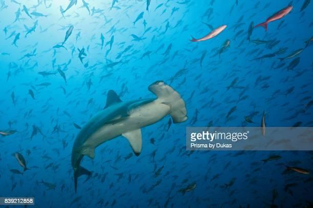 Scalloped Hammerhead Shark Sphyrna lewini Arch Galapagos Darwin Island Ecuador